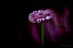 Pink Germini