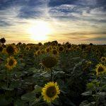 Dorset Sunflower Field at Sunset