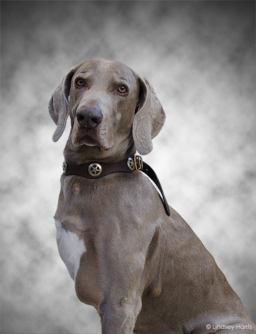 Monty, the three-legged Weimaraner