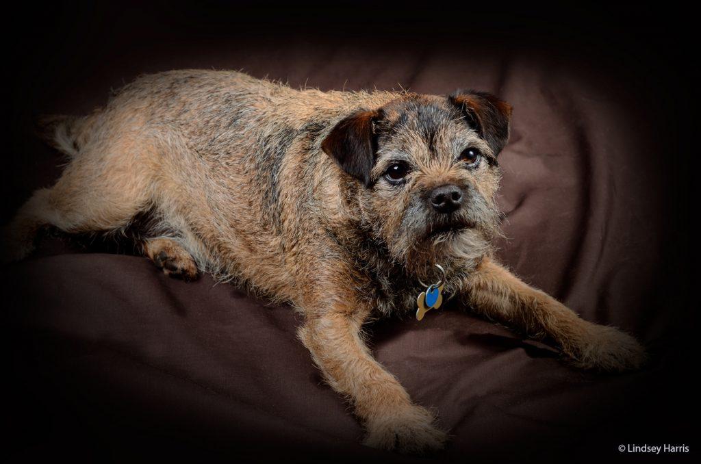 Ginny, Border Terrier