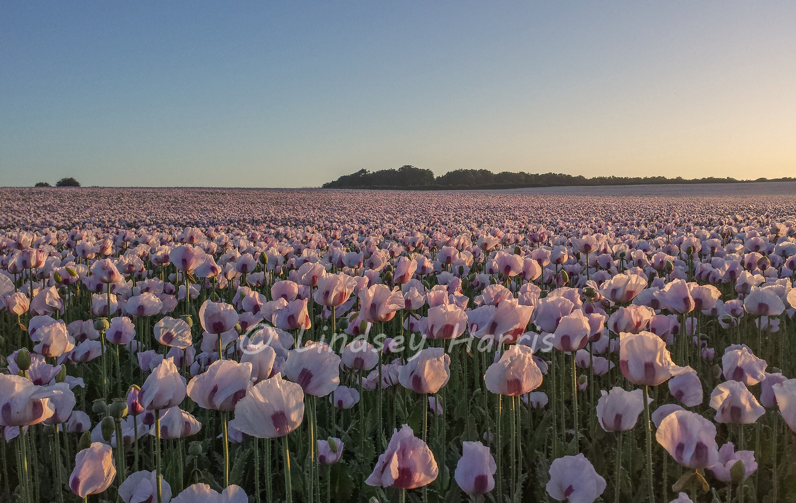Poppy fields at sunrise. Photo of opium poppies.