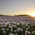 Dorset Poppy Fields at Sunrise