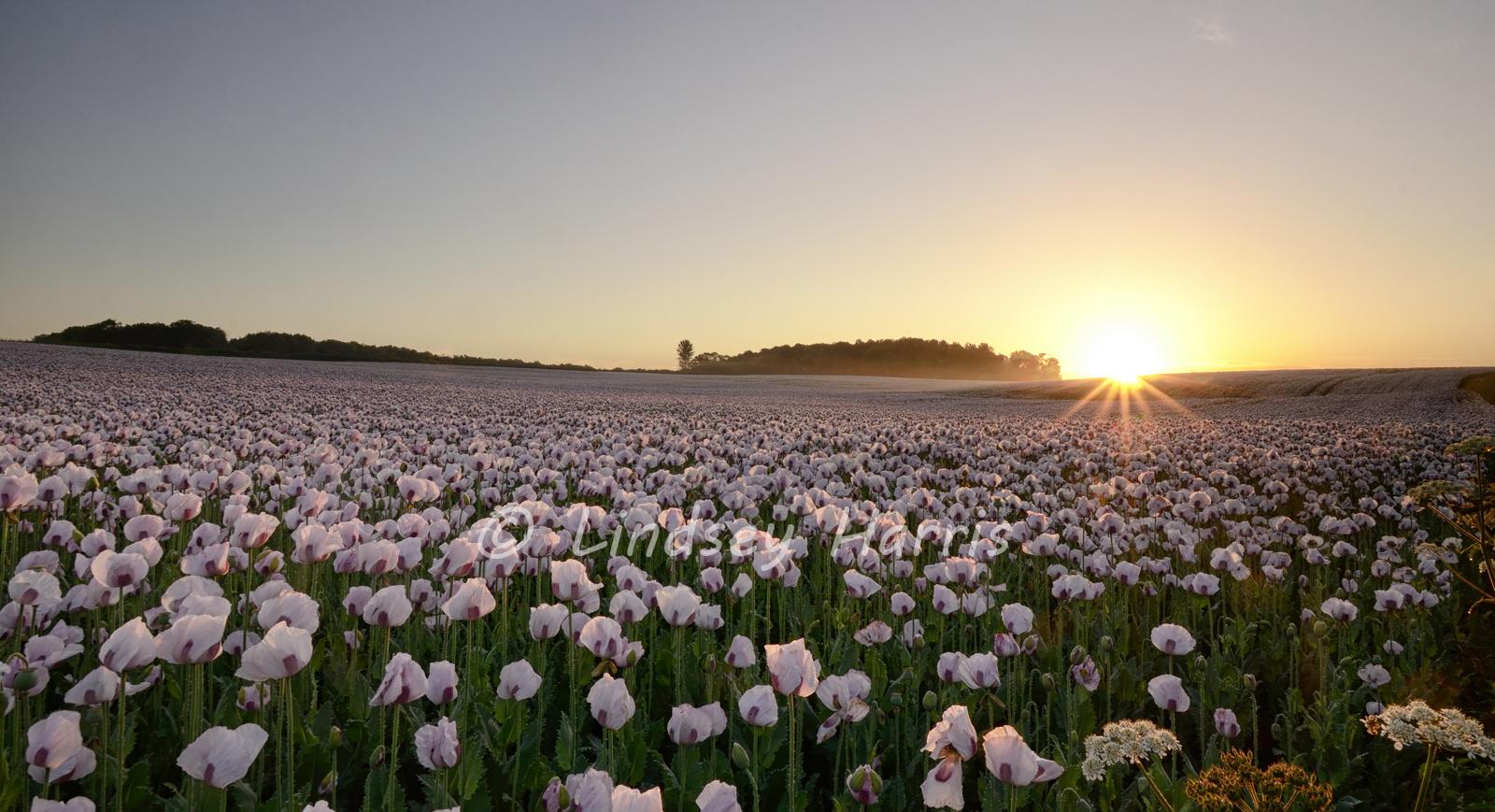 Poppy fields at sunrise. Photo of opium poppies.