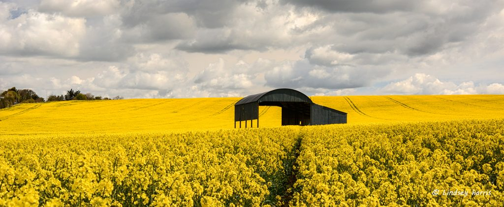 Most photographed barn in Dorset.... rapeseed oil crop