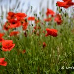 Red Poppy Fields of Dorset