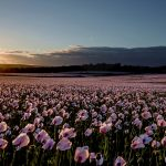 Dorset opium poppy fields