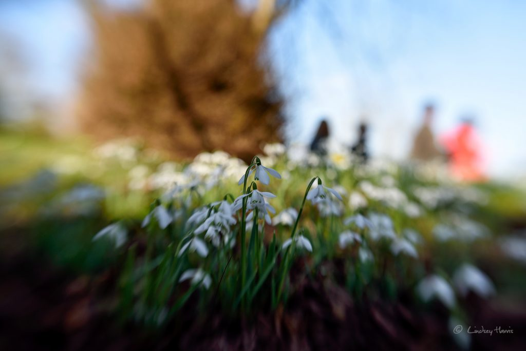 Snowdrops Kingston Lacy