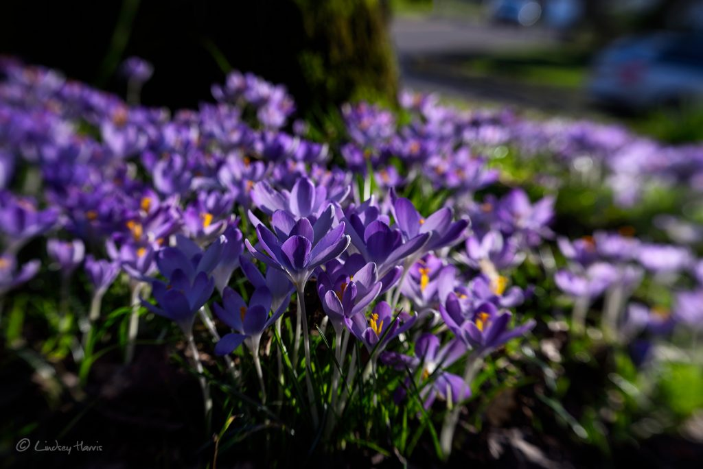 Purple crocuses Broadwater Avenue, Poole, Dorset