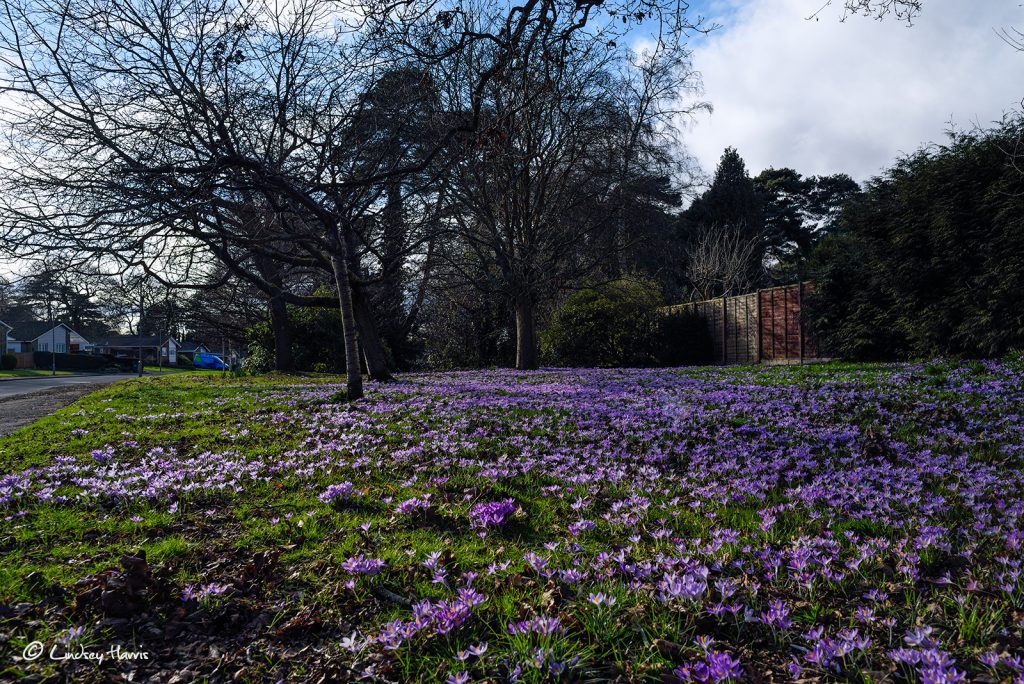 Spring crocuses - Broadwater Avenue, Poole, Dorset