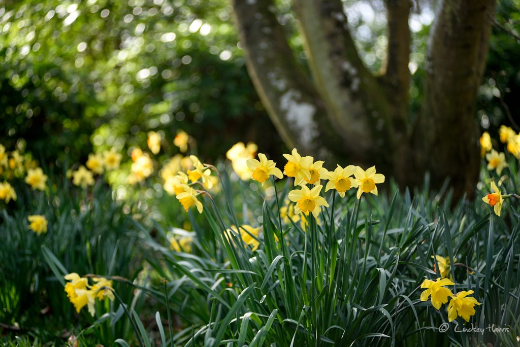 Daffodils at Upton Country Park, Poole.