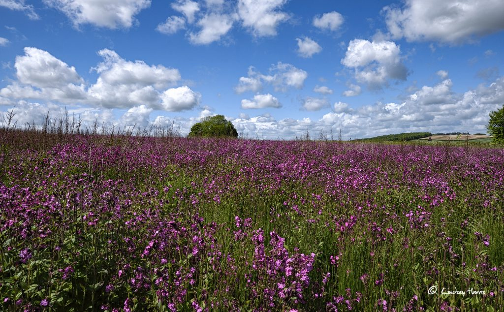 Field of red campion flowers (Silene dioica) in Dorset