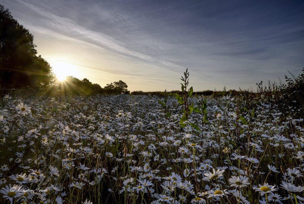 White daisies! Very first light at an ox-eye daisy field in Dorset.