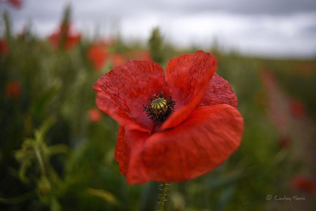 Photo of red poppy Dorset. Dorset red poppy field.