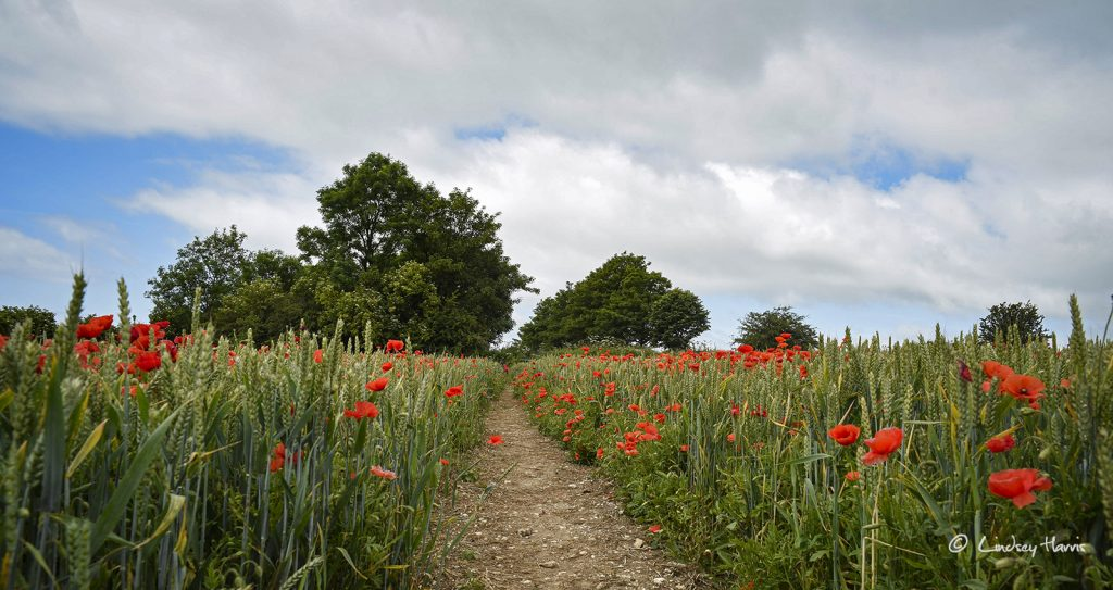 Photo of red poppies in Dorset. Dorset red poppy field.