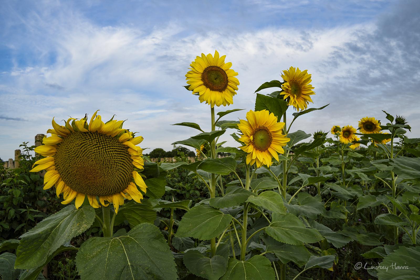 Sunflower Field Dorset 2017 Dorset Sunflower Fields