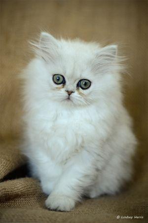 Chinchilla Kitten, 10 weeks old