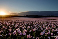 The sun sets over huge fields of opium poppies on a windy day, 2016.