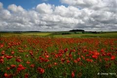 Red poppy field, Dorset. 2016.