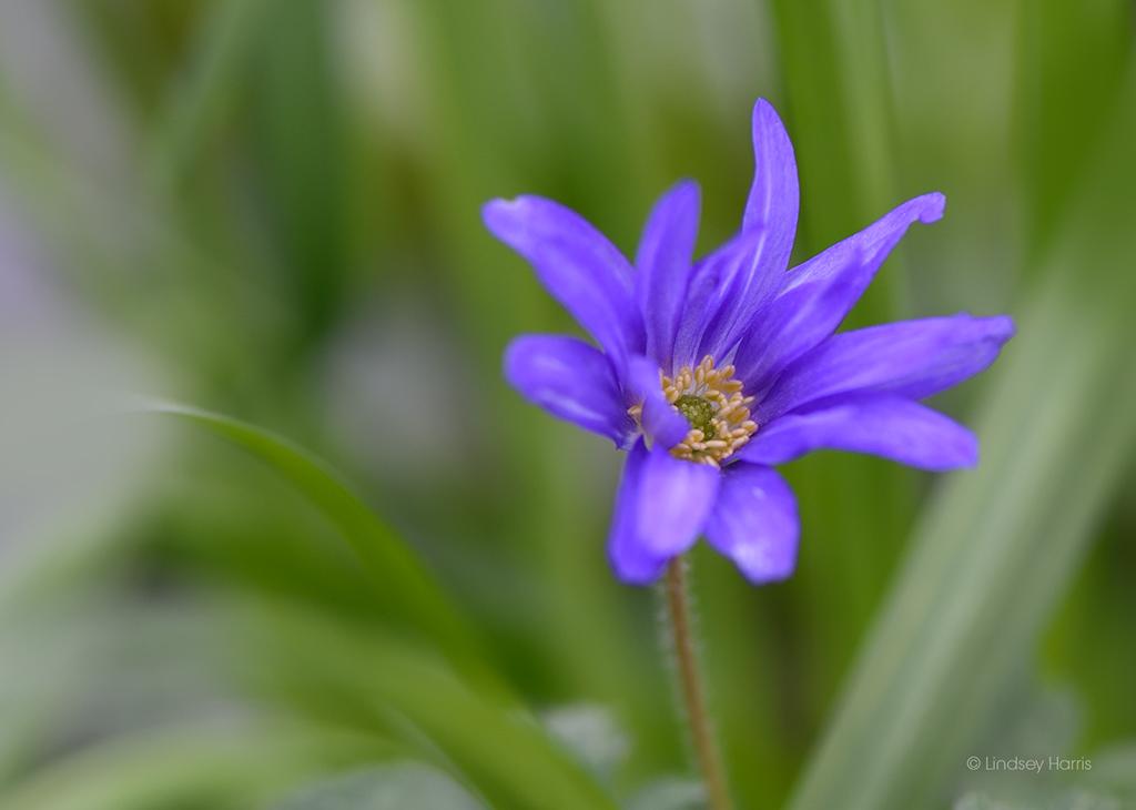Blue flower II.