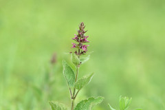 Marsh hedge nettle [Stachys palustris].