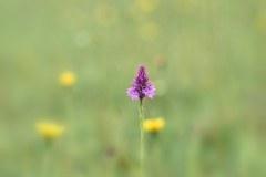 Pyramidal orchid [Anacamptis pyramidalis].