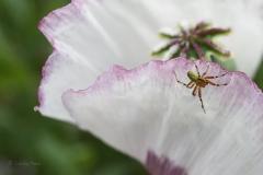 Dorset opium poppy (Papaver somniferum).