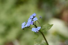 Blue flower I.