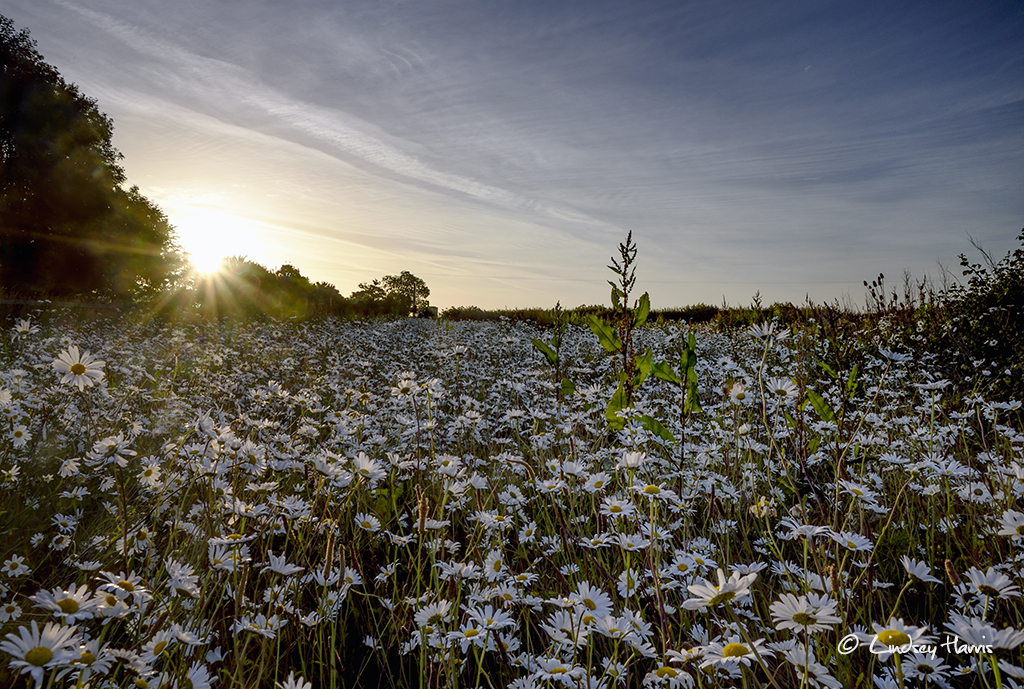 Sun rises over white daisy field Dorset.