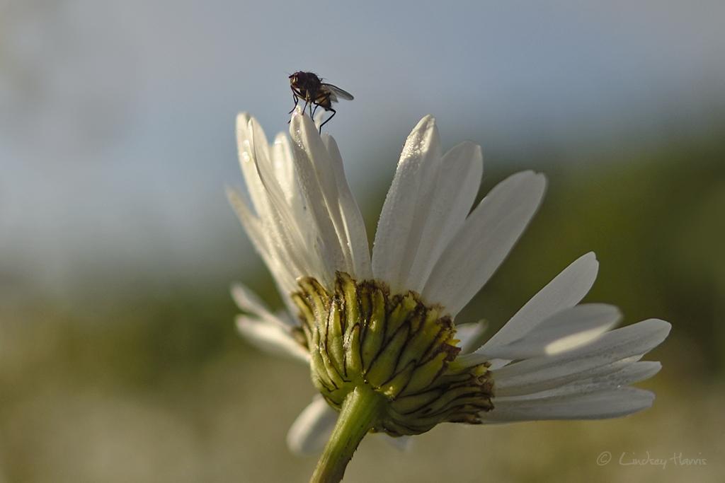 Ox-eye daisy flower in a field, Dorset.