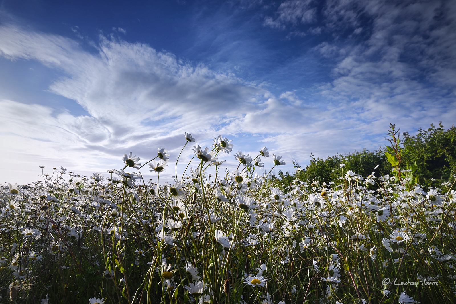 Sun rises over a field of white Ox-eye daisies in Dorset.