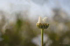 Ox-eye daisy flower at first light, Dorset.
