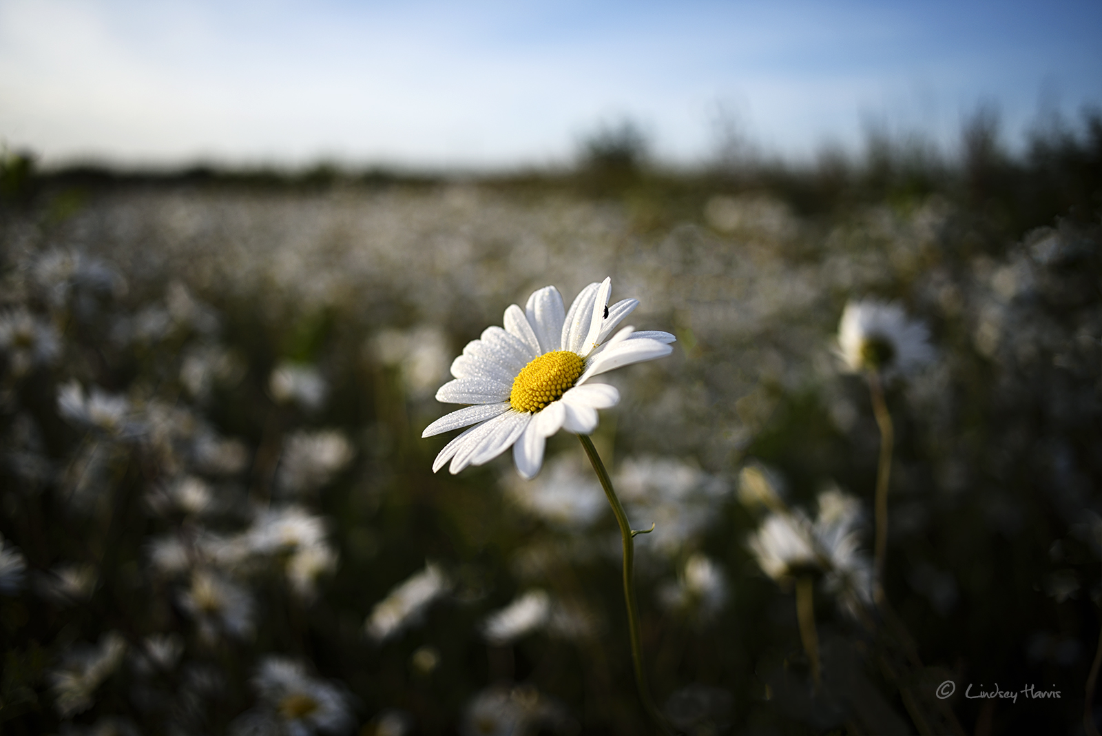 Ox-eye daisies.
