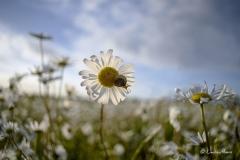 Ox-eye daisies in a field in Dorset.
