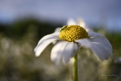 Ox-eye daisy.