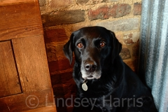 Tina, the labrador at The Dancing Goat, Lower Parkstone. February 2013.