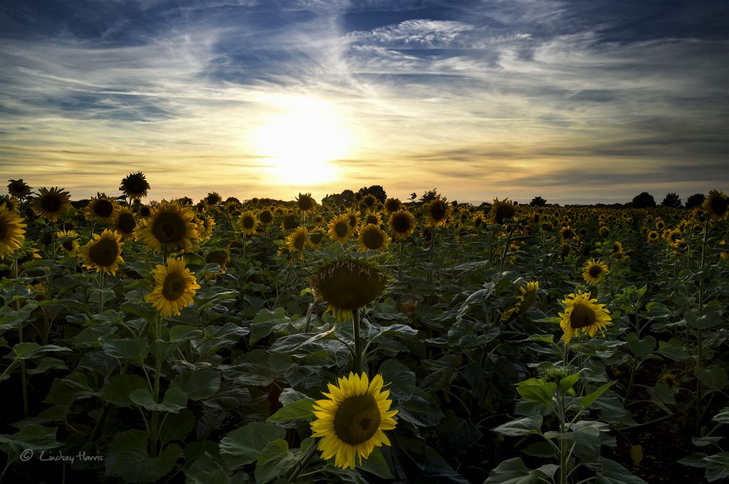 Field of sunflowers Dorset sunset.