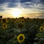 Dorset sunflower field at sunset