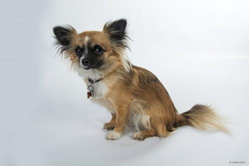 Peaches, Chihuahua