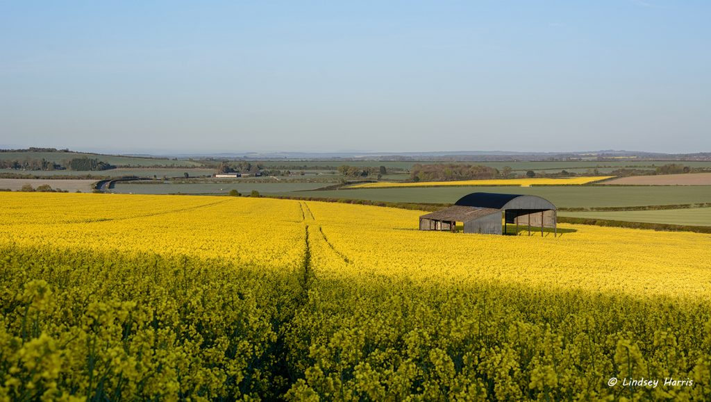 Dorset barn in field of rapeseed oil plants