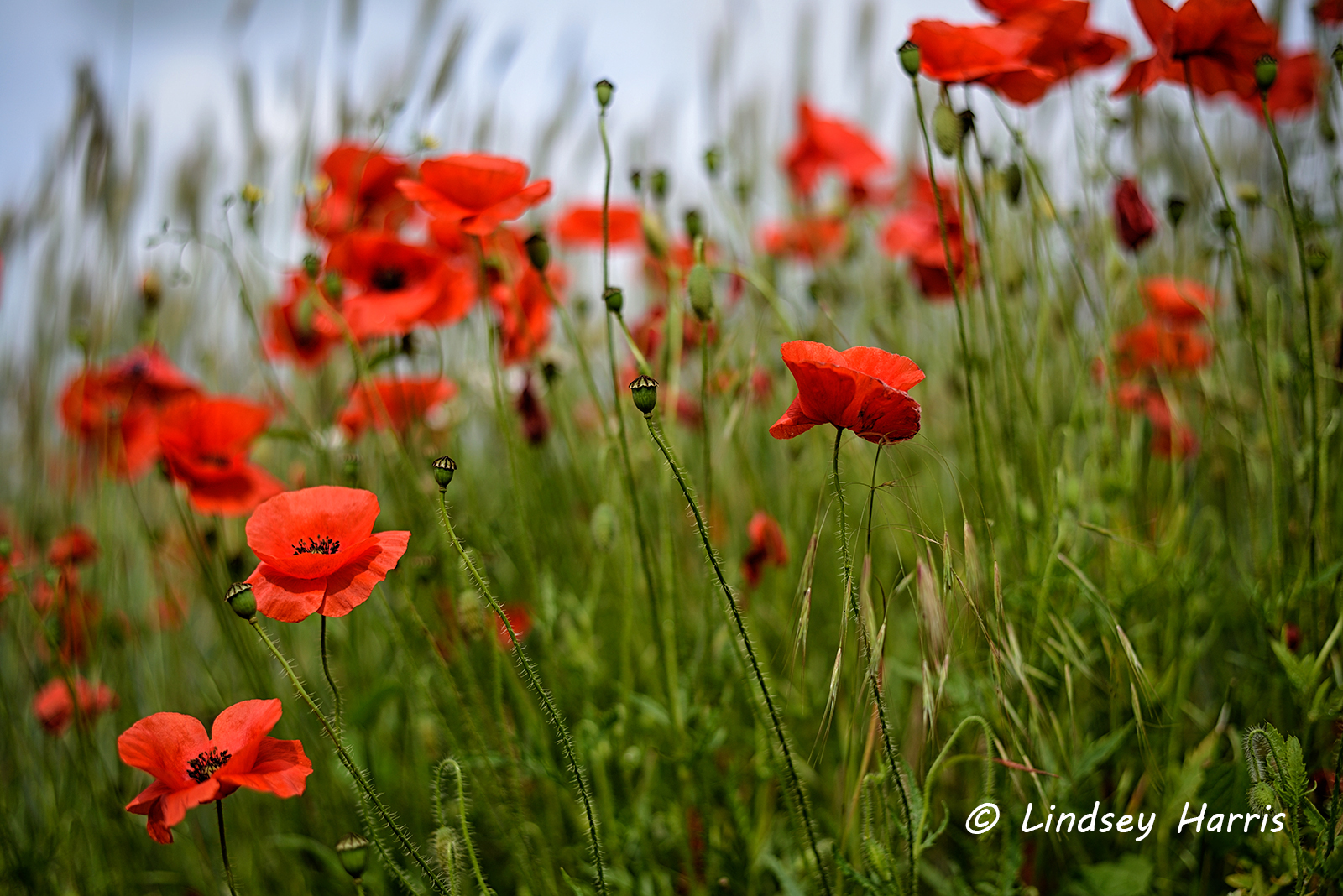 Red Poppy Fields of Dorset