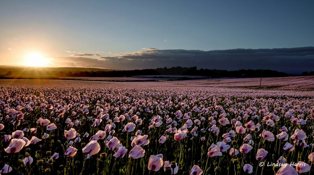 Dorset opium poppy fields at sunrise: Dorset opium poppies.