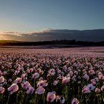 Dorset Opium Poppies 2016
