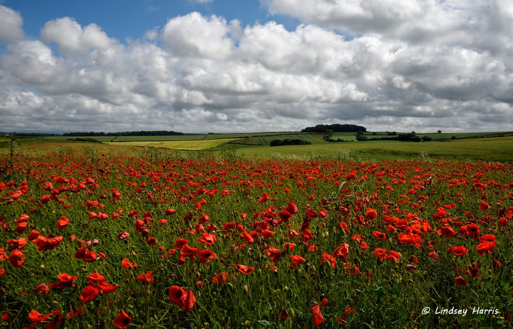Photo of red poppies in Dorset. Red poppy fields.