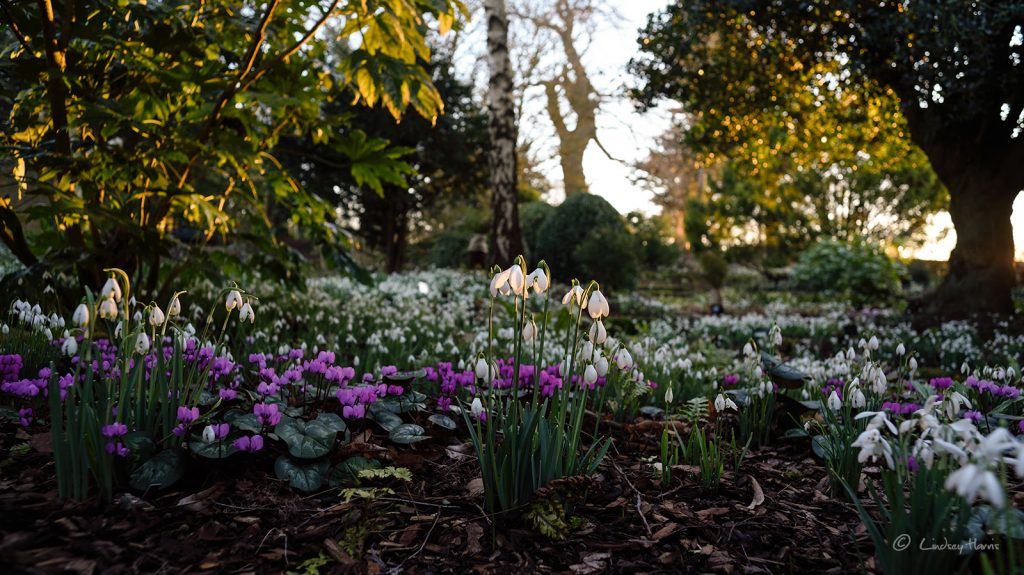 Snowdrops and miniature cyclamen