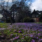 Purple Crocuses Broadwater Avenue, Poole, Dorset