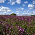 Fields of Blue Flax and Red Campion, Dorset