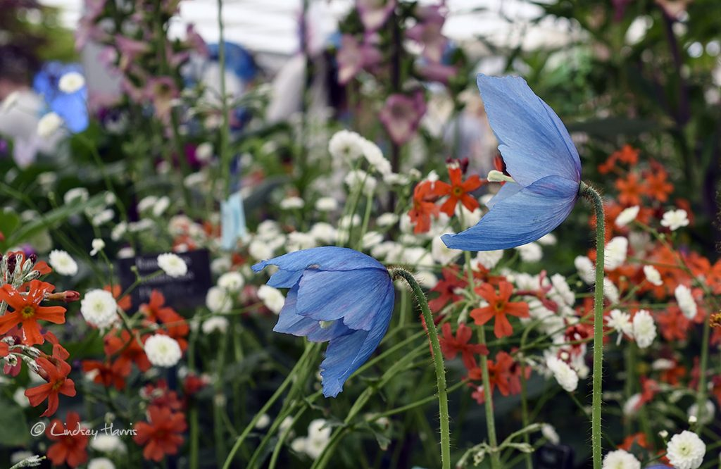 Meconopsis (Fertile Blue Group) 'Lingholm', aka Himalayan blue poppy 'Lingholm'.