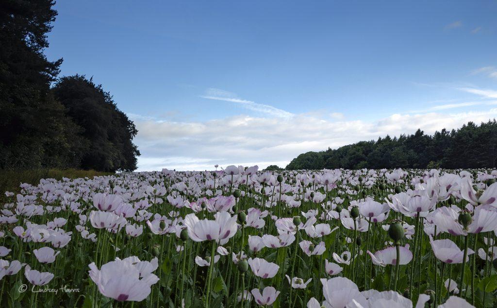 Dorset opium poppy fields 2017. Papaver somniferum.