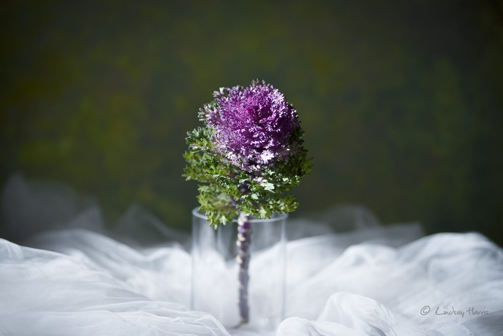 Ornamental cabbage - from Holt flower photography workshop.