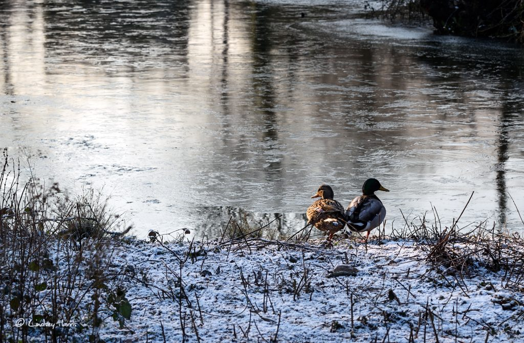 Two Mallard ducks both standing on one leg in the snow and ice at Poole Park, Poole, Dorset.